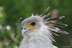 Grand serpentaire (Passion Animaux & Photos) Tags: grand serpentaire secretary bird zoo amneville france