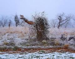 (claudine6677) Tags: winter eis schnee nebel reif ice fog hoarfrost frosty trees bäume efeu ivy