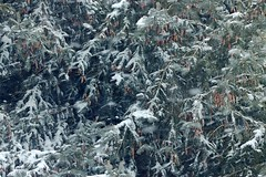 2019 Snow On Spruce Tree Branches 005 (Chrisser) Tags: weather snow nature ontario canada canoneosrebelt6i canonef75300mmf456iiiusmlens winter