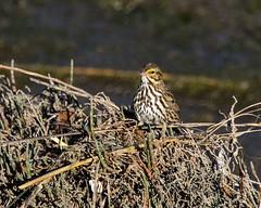 Savannah Sparrow_3 (SamOphoto2011) Tags: canon california sandiego birds 14iiteleconverter robbfield 7dmarkii savannahsparrow passerculussandwichensis sparrows sandiegoriver