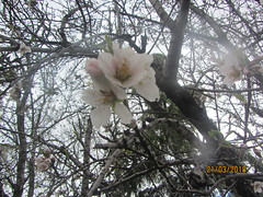 Blossom in the rain, Parque Enrique Tierno Galvan, Madrid (d.kevan) Tags: tree flowers blossom parqueenriquetiernogalvan branches leaves madrid parksandgardens 3