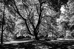 _ROS7046-Edit-2 (Roshine Photography) Tags: britishcolumbia canada countries cowichanstation places vancouverisland leadinglines bw blackandwhite railway mapletree