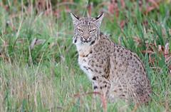 Bobcat (lynx rufus) (Thy Photography) Tags: mammals nikon canon bobcat animal nature wildlife livemore pointreyesnationalseashore california sanfranciscobayarea sunrise sunset sonya9 sunshine edlevin lynxrufus