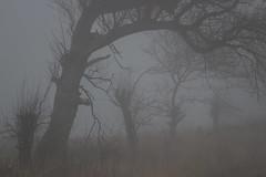 The Fog (Elbmaedchen) Tags: nebel fog bäume trees kopfweiden landschaft landscape natur fehmarn