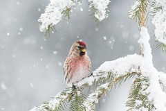 ''Sous le sapin!'' Sizerin flammé-Common redpoll (pascaleforest) Tags: oiseau bird animal passion nature nikon wild wildlife faune québec canada winter hiver neige snow tree sapin blanc white red roube