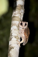 Oriental Bay-owl (koifarmer) Tags: orientalbayowl maskeneule phodilusbadius sabah borneo malaysia owl bird wildlife jungle mangrove