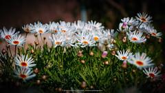 365-2019-02-15 (AGONZA) Tags: flores color margaritas ángel mallorca baleares flor macrofotografía jardín