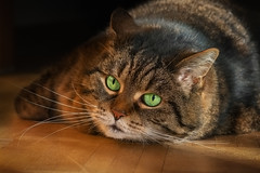 Hibernation isn't what it used to be .... (FocusPocus Photography) Tags: cleo katze tabby cat chat gato tier animal haustier pet winterschlaf hibernation grüneaugen greeneyes