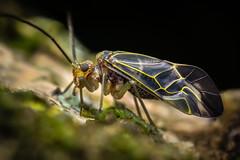 Psocodea (Javier Chiavone) Tags: argentina canon7dii exopterygota mpe65 macro macrofotografía marcospaz piojodeloslibros psocodea nature