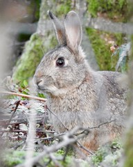 Wild Rabbit (LouisaHocking) Tags: wild rabbit forestfarm cardiff southwales wales wildlife nature bunny animal mammal