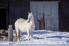 Beautiful Horse (Roger Daigle) Tags: white horse winter barn nikon