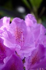 Rhododendron    Benoît Berthiot  INOX 100 F 2.9 (情事針寸II) Tags: マクロ撮影 自然 花 躑躅 oldprojectionlens pink macro bokeh nature fleur flower rhododendron benoîtberthiotinox100f29