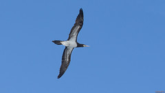 Oiseau de mer -  Fou brun, Brown booby - 9792 (rivai56) Tags: oiseaudemer foubrun brownbooby oiseau bird beautiful
