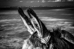 Ca rentre par une oreille et ça ressort par l'autre!!! / It goes in one ear and out  the other!! (vedebe) Tags: animaux âne netb nb bw monochrome mer littoral méditerranée plage camargue noiretblanc paysages sable animal eau