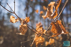 Week 6: Manual (bmurphy502) Tags: winter winterwalk leaves woods forest tree plant brown kentucky nature naturephotography day daylight outside outdoors blue cold dead trees old gold orange hike hiking hikingphotography frozen leaf natur 35mm manual manualfocus freezing bokeh