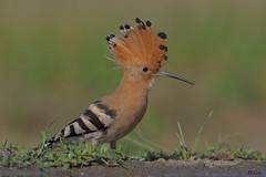 """Eurasian Hoopoe (Sacco Luca """"DUELL"""") Tags:"""