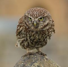 Getting ready (waynehavenhand1) Tags: naturephotography wall northumberland wildlife wild nature birdofprey bird littleowl little owl athenenoctua