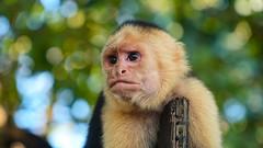 Capuchin Monkey Costa Rica (Lud_fgt) Tags: costa rica 2019 family trip amazing landscape sony 6300 manuel antonio national park nature animal animals wild life monkey capuchin forest mono capuchino