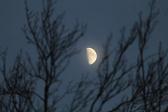 Half Moon Betwixt Branches (@FunkyAppleTree) Tags: moon lunar moonscape moonlight night astro astrophotography astrophysics astronomy waxing gibbous crater craters illuminated london england tree trees branches twigs blue sky