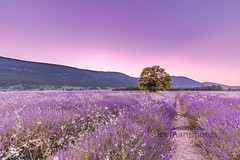 The happy tree (icemanphotos) Tags: provence lavender summer flowers sunset inspire view lines row europe blossom nature alpesdehauteprovence agriculture valensole pattern house scented countryside purple travel aroma landscape outdoors hill dramatic shine flower fragrance color sunrise bloom barn france beautiful scenic country beauty rural panoramic sunny background plant provencealpescote magenta field panorama french sky vibrant ray beam