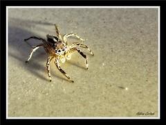 araignée sauteuse (jumping spider) (hcortade) Tags: araignée spider sauteuse jumping thailande samui voyage travel animal arachnide arachnid ile island macro coth5
