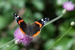 Vanessa atalanta (Linnaeus 1758) (ajmtster) Tags: invertebrados macro amt mariposa mariposas lepidopteros nymphalidae ninfalidos vanessaatalanta vanessa atalanta butterfly butterflies numerada almirante vulcana