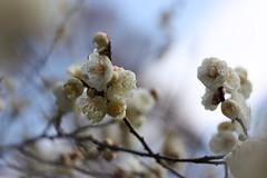 IMG_0860 (lesguillemets) Tags: kyotobotanicalgarden blossom ume plum