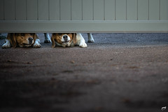Curious twinny (ρηψ) Tags: street dogs streetphotography curiosity animals