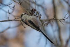 DSC_1136_Edit (Clive Webber) Tags: aegithalidae aegithaloscaudatus belgium bird brielmeersen deinze longtailedtit oostvlaanderen places passeriformes
