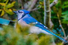 Blue Jay--DSC9709 (Lance & Cromwell back from a Road Trip) Tags: birds blue jay wildlife nature portorford currycounty oregon oregoncoast sonyalpha a57 sony tamron tamron150600mmg2 g2 150600mm