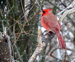 Frozen Feathers (Meryl Raddatz) Tags: bird nature naturephotography wildlife canada cardinal red