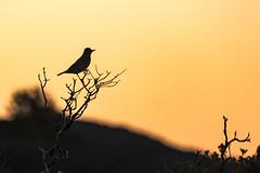 Sweeny Ridge sunrise. Pacifica, CA. (j1985w) Tags: california sweeneyridge bird sunrise sky trees