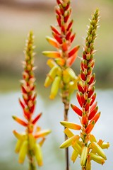 Yellow Aloe Flower (M424Photography) Tags: flower flowers red yellow orange aloe outdoor outdoors nature