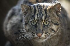 Fischkatze (DeanB Photography) Tags: 1dx 2019 animals canon deanb duisburg sigma sigma150600 tier tiere tierpark tierwelt zoo animal tierfotograf fischkatze katze raubtier cat