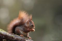 Entertaining (Manon van der Burg) Tags: sigma100400mm canon80d fluffy adorable wildlifephotography wildlife knaagdier rodant redone squirrel intheforest inhetbos eekhoorn