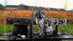 Taking a break from training. (Fergus the Springer) Tags: fergusthespringer englishspringerspaniel springer workingspringer spaniel gundog workingspaniel dogtraining dogwalk dog