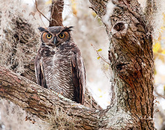 Great Horned Owl (Let there be light (A.J. McCullough)) Tags: texas texasbirds owls nesting greathornedowl brazosbend brazosbendstatepark birds featheryfriday