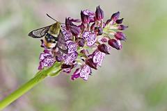 Hemaris tityus (isabelpn) Tags: hemarys titius hemarystitius lepidoptero mariposa insecto orquidea flor flora vegetal invertebrado orchis purpurea orchispurpurea orquidaceae naturaleza macrofotografía
