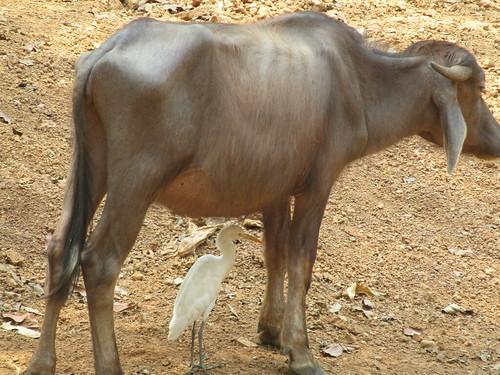 IMG_6192 buffalo and mate