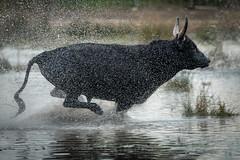 Splash! (MrBlackSun) Tags: bull black camargue southfrance france nikon d850