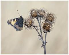 Small Tortoiseshell (nigel kiteley2011) Tags: smalltortoiseshell lepidoptera butterfly insects nature butterflies macro canon 5dmk3