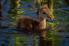 swirls of green (robertskirk1) Tags: nature outdoor wildlife bird baby newborn sandhill crane water green color viera wetlands rich grissom memorial florida