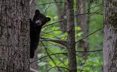 Bear cub up in the tree (TDog54Photography / TCS Photography) Tags: black bear bears smoky mountains tennessee cades cove wildlife wild life animal american north america ursus americanus animals forest national park great cubs cub