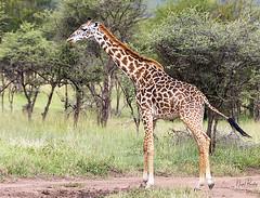 GIRAFFE 5 (Nigel Bewley) Tags: tanzania africa wildlife nature wildlifephotography nigelbewley photologo appicoftheweek giraffe giraffacamelopardalis march march2019 maswagamereserve safari gamedrive drinking waterhole
