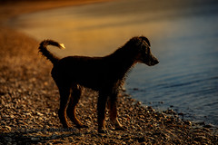 late at the water (Flemming Andersen) Tags: beach sunset pet nature water dog bordercollie outdoor frisbee hund animal