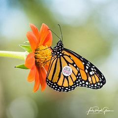 "The release of a monarch butterfly in memory of ""Todd."" 