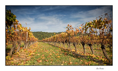 Pour les vendanges à la machine (Rémi Marchand) Tags: vigne vignoble automne treille hautescôtesdenuits côtedor arcenant bourgogne ceps canon5dmarkiii bestcapturesao