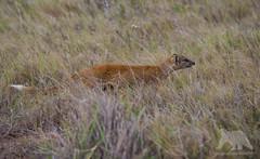 On the hunt (fascinationwildlife) Tags: animal mammal wild wildlife nature natur national park addo elephant summer südafrika south africa afrika fuchsmanguste manguste yellow hunt hunting field grass eastern cape sanparks