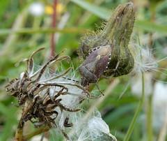 Dolycoris baccarum (rockwolf) Tags: dolycorisbaccarum punaise hairyshieldbug pentatomidae hemiptera heteroptera insect uptonmagna shropshire rockwolf