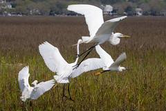 Egrets in flight (t s george) Tags: egrettathula ardeaalba snowyegret greategret bird waterfowl nature wildlife inlet ocean movement sonya6000 travel murrellsinletsouthcarolina
